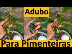 Adubo pra pimenta com pó de café, casca de ovo, casca de banana e farinha de ossos Plantar, Youtube, Cactus, Gardening, Greenhouse Gardening, Organic Fertilizer, Herb Garden, Inside Garden, Stoves