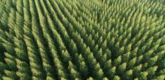 'Terrível' e 'maravilhosa': a saga da árvore australiana que encontrou o habitat perfeito no Brasil
