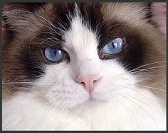Ragdoll Cats