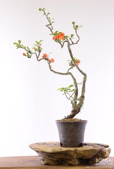 木瓜の盆栽 Japanese Quince, Boke, bonsai 撮影 bonsai on the rock Bonsai Art, Bonsai Plants, Bonsai Garden, Ikebana, Chaenomeles, Bonsai Tree Types, Mame Bonsai, Japanese Flowers, Container Gardening