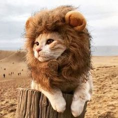 Reposting @productsearchonline: - via @Crowdfire Visit the link in the bio now to get this for just $13.47 Lion Mane Cat Costume, Headwear For Cats, 3 Sizes Available, Turn Your Kitty Into A Lion #cat #cats #catsofinstagram #cute #pet #kittens #kitten #love #egg #kitty #instagram #instagood #instapet #eyes #cateyes #petsofinstagram #meow #dogs #dog #dogsofinstagram #catnap #lionmane #lionking #lion #wild #fields #forest