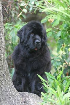 Pouch Cove´s Muddy Creek Valor Newfoundland Puppy Dogs Newfie