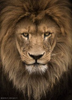 Photograph lion eyes by Wolf Ademeit on 500px