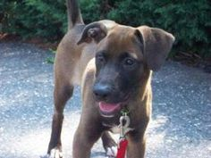 MORGAN is an adoptable Labrador Retriever Dog in New Monmouth, NJ. HANDSOME AND PLAYFUL 5 MONTH OLD MALE.? ACTIVE AND FRIENDLY.? WOULD LOVE A FENCED YARD TO BURN OFF ENERGY.? BRIGHT AND WILLING TO LEA...