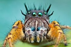 Phidippus mystaceus by Colin Hutton Photography, via Flickr