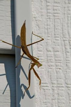 Preying mantis. On my house in Elkhorn, wi.