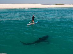 Shark expert Chris Fallows surfed perilously close to a great white to prove they pose little threat to humans