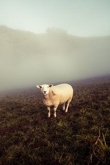 Schaf Cow, Animals, Photos, Sheep, Cold, Nature, Animales, Animaux, Cattle