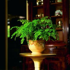 £5 Maidenhair Fern houseplant for indoor use, ideal for use on windowsills, terrarium and bathrooms. Miniature plant, delicate looking. Adiantum Fritz Luthi.: Amazon.co.uk: Kitchen & Home
