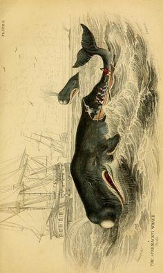 Spermaceti Whale. Whales / by Robert Hamilton. Edinburgh :W.H. Lizars,1843. Biodiversitylibrary. Biodivlibrary. BHL. Biodiversity Heritage Library