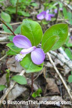 native escarpment cherry tree | Restoring The Landscape With Native Plants: June 2011