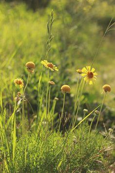mi casita en el bosque: Flores silvestres en primavera ♥ Gaillardia megapotamica