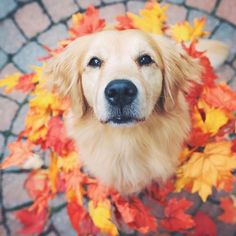 The traits we admire about the Outgoing Golden Retriever Pups Animals And Pets, Baby Animals, Funny Animals, Cute Animals, Cute Dogs And Puppies, I Love Dogs, Pet Dogs, Doggies, Chien Golden Retriever