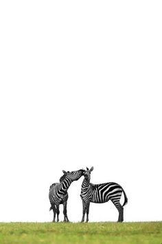 Talking Zebras