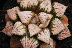 Haworthia picta 'HAKUGIN' JYH-OP-M279小苗-B0000*1-18