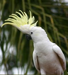 Sulphur-crested Cockatoo | World Parrot Trust