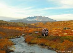 Musk Ox enjoying Autumn on the Dovrefjell, Norway Places To Travel, Places To Visit, Norway Nature, Musk Ox, Scandinavian Countries, Rando, Lofoten, Places Around The World, The Great Outdoors