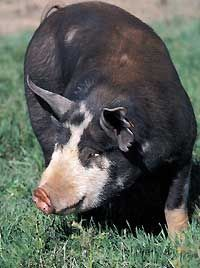 Berkshire pigs are an excellent choice for farmers who want to raise heritage livestock with a taste consumers appreciate. Photo by Russell A. Graves