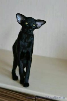 Pretty Cats, Beautiful Cats, Cute Cats And Kittens, Cool Cats, Oriental Shorthair Kittens, Oriental Cat Breeds, Best Cat Breeds, Cornish Rex Cat, Warrior Cats