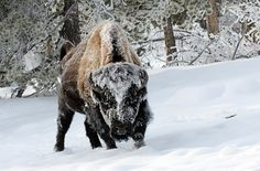 A snow covered bison near Old Faithful in Yellowstone National Park. Photograph by Andy Coleman