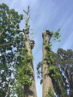 Sweet Chestnut Tree Felled