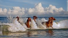 "Assateague Island, Maryland. The horses were made famous in Marguerite Henry's famous book ""Misty of Chincoteague."""