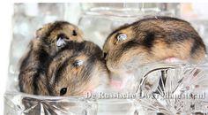 wildkleur russische dwerghamster #dwerghamster #russischedwerghamster #hamster