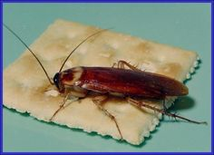 The American cockroach is the largest of the house-infesting cockroaches. They prefer dark, warm and damp areas like sprinkler valve boxes and flower beds. However, during extremes in weather conditions they will wander indoors for food and water.