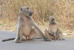 A male Chacma baboon displays his genitals as a signal of his maturity and social rank or dominance.