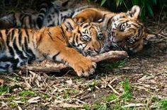 orange tiger cubs