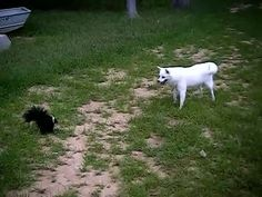 Beautiful dog tangles with a skunk!