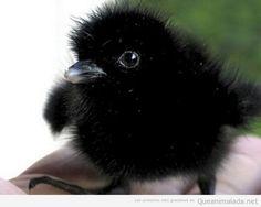 polluelo de cuervo - Buscar con Google