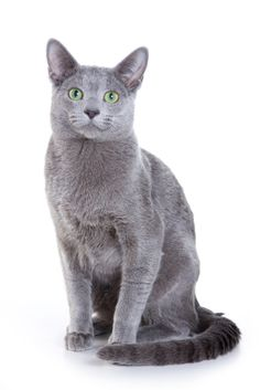 Russian Blue Cats (Russian blues have green eyes, Chartreux have gold eyes)  That's Good to Know