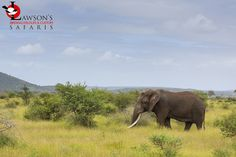 A decent tusker (only one tusk though), seen in the Kruger National Park, February 2020. Biggest Elephant, Kruger National Park, Predator, South Africa, Safari, February, Seasons, Animals, Animales