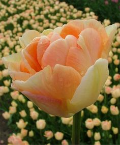 Tulip Charming Beauty    This enchanting Angelique love child is varying shades of apricot-tangerine with blush-apricot exterior petals, ever darkening into its dusky apricot-orange center. Bulb size: 12 cm/up. Late April. 18�. HZ: 3-7. Limited supply.