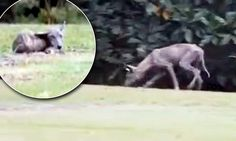 Is this the legendary El Chupacabra? Residents of a Mississippi town are baffled over a mysterious beast that's wandering their suburban str...