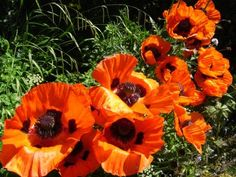 oriental poppies -Another favorite color.