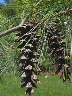 Long Needled Pine Mature Seed Cones