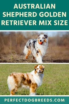 The Australian Shepherd Golden Retriever mix is not only beautiful, they are also an intelligent and loving dog. These dogs will capture the heart of anyon Large Dog Breeds, Large Dogs, Golden Retriever Mix, Collie Puppies, Medium Sized Dogs, Australian Shepherd, Dog Love, Larger, Animals