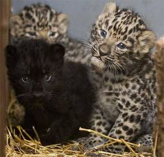 3 Amur Leopard cubs born at Prague Zoo, Czech Republic
