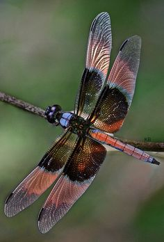 seasonalwonderment:  Dragonfly