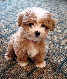 My dream dog! It's a maltipoo, a Maltese~poodle mix!! So cute!!!