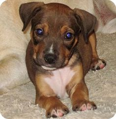 Vancouver, BC - Hound (Unknown Type) Mix. Meet Trent, a puppy for adoption. http://www.adoptapet.com/pet/16848868-vancouver-british-columbia-hound-unknown-type-mix