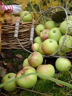apple picking time...the fruits of the season