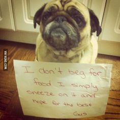 Pug shaming | This one's funny, and it's pretty smart if that's really what he's doing.
