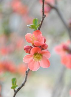 quince flowers! ♥