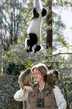 A Lemur Rescue Mission in Madagascar - NYTimes.com: 'Among lemurs, females lead. They go into the fruit tree first, and the males must stay out until the females decide they can come in...' #Lemurs #Madagascar