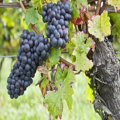 Growing Grapes and Making Homemade Wine - Real Food - MOTHER EARTH NEWS