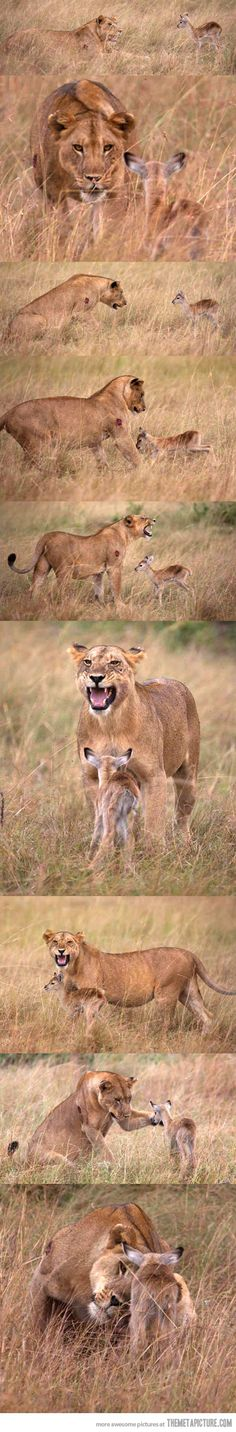 Funny pictures about Lioness adopts baby gazelle. Oh, and cool pics about Lioness adopts baby gazelle. Also, Lioness adopts baby gazelle. Animals And Pets, Baby Animals, Funny Animals, Cute Animals, Beautiful Creatures, Animals Beautiful, Gato Grande, Tier Fotos, Big Cats