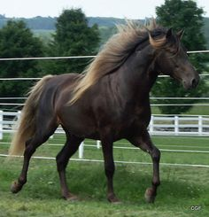 Rocky Mountain Horse gaited smooth ride even temperament pleasure horse